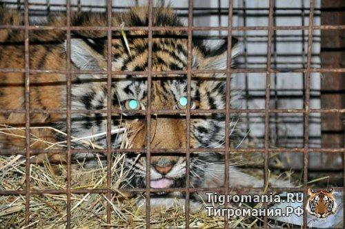 В Центре Утёс на одного тигра стало больше (видео)