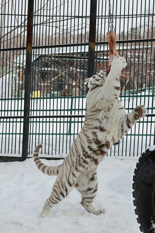 Гимнастика для белого тигра