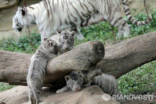 Тигры и тигрята южно-китайского сафари-парка