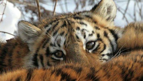 Российские и китайские экологи следят за тигром-перебежчиком