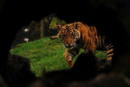 Тигрята Бирани и Думаи растут не по дням, а по часам!