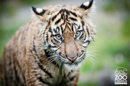 Тигрятам Бирани и Думаи - по полгода!