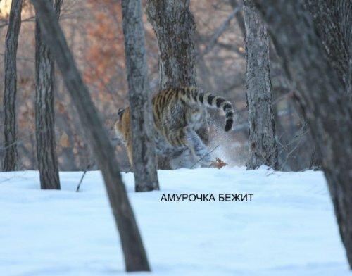Тигрица Амурочка из приморского сафари-парка стала Амуром
