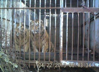 Тигрицы Светлая и Илона