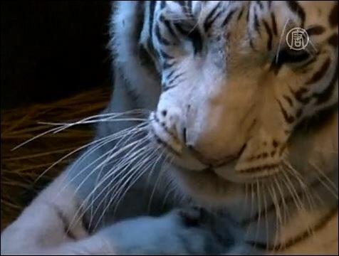 В зоопарке города Сайтама родились белые тигрята (видео)