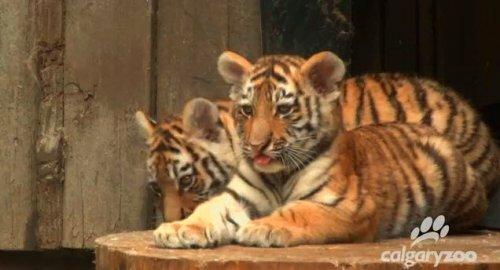 Три амурских тигра отпраздновали свой первый день рождения в зоопарке Калгари (фото, видео))