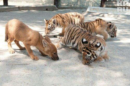 Красный волчонок подружился с тигрятами (фото)