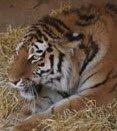Тигрица из Ижевского зоопарка уехала к жениху в Великобританию