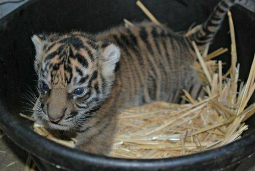 Суматранский тигренок из Сакраменто (фото, видео)