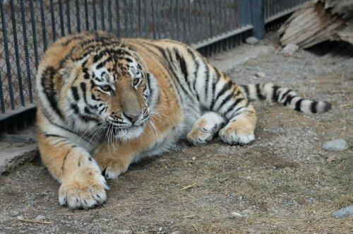 """В """"Роев ручей"""" привезли нового тигра (фото)"""