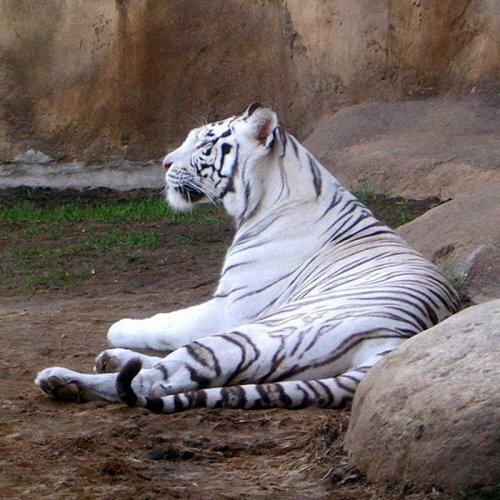 Тигр, тигр! (тигры Московского зоопарка)