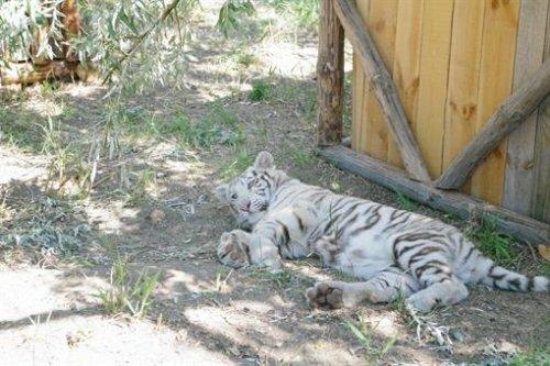 В Бердянск привезли белых тигров (фото)