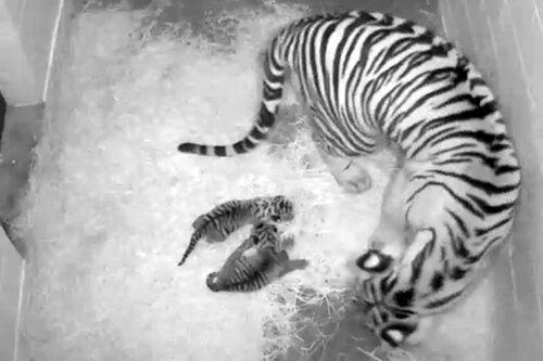 Двое суматранских тигрят родились в национальном парке Вашингтона (фото)
