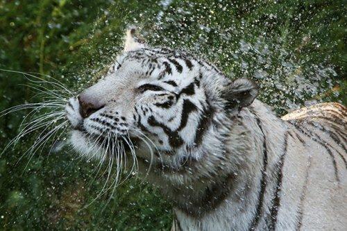 Тигры в цифрах и фактах