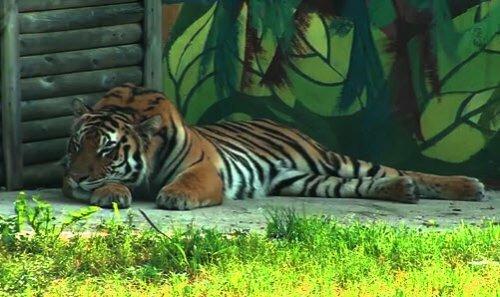 """Ярославский зоопарк планирует попасть в программу """"Амурский тигр"""" (видео)"""