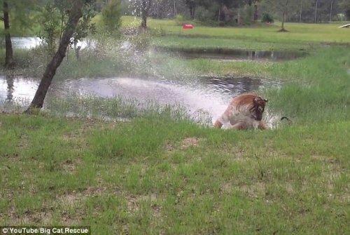 Самый старый в мире тигр играет, словно котёнок