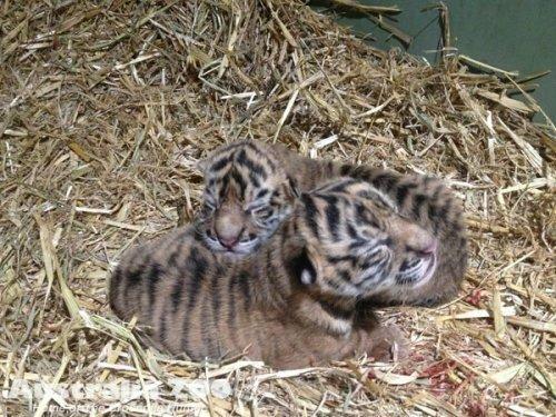 В Австралийском зоопарке впервые родились суматранские тигрята (фото)