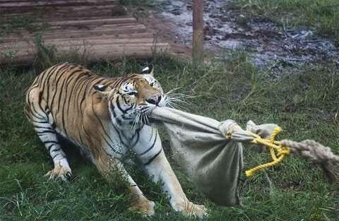 Посетителям зоопарка предлагают помериться силой с тигром
