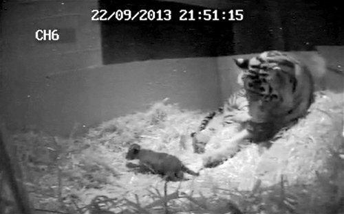 Лондонский зоопарк объявляет о рождении суматранского тигрёнка (фото)