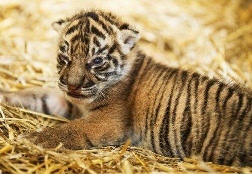 В зоопарке Праги родился суматранский тигрёнок