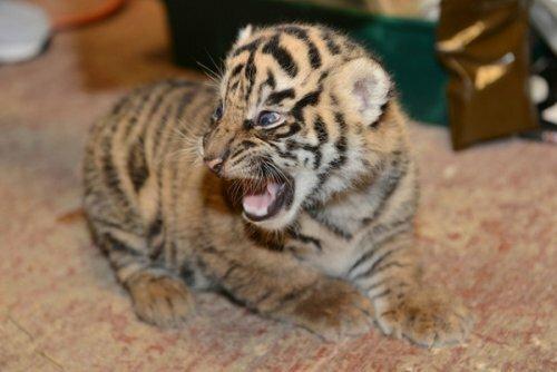 В Смитсоновском Национальном зоопарке подрастают суматранские тигрята
