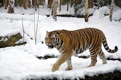 Амурский тигр наследил в Зейском районе