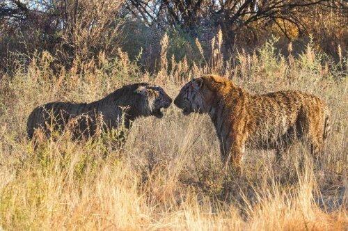 Драка тигров в Южной Африке