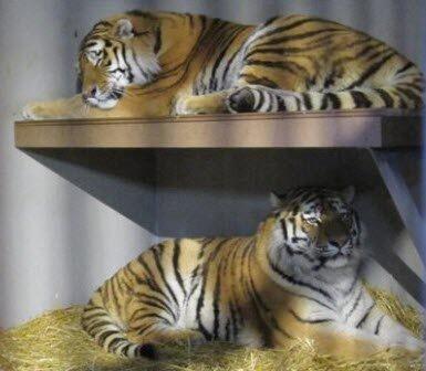 Зоопарк Ассинибойн приветствует амурских тигрят прибывших из зоопарка Калгари