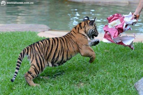 Жаркое Рождество в Зоопарке Австралии, или как суматранские тигрята спасаются от зноя (фото, видео)