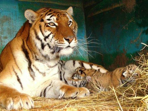 В Ессентуках родились уссурийские тигрята (фото)