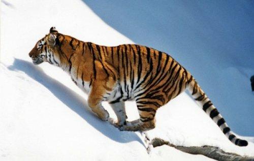 На Дальнем Востоке сосчитают амурских тигров (фото)