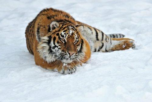 Амурские тигры обитают теперь на заповедной территории