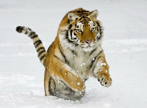 За информацию об убийстве тигра заплатят 300 тыс. рублей (видео)