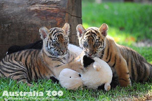 Дебют суматранских тигрят в Австралийском зоопарке