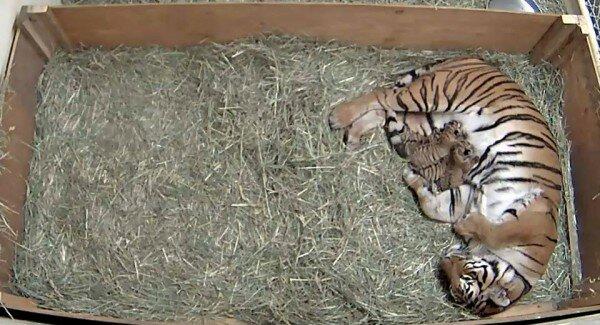 В Зоопарке Фресно Чаффи родились четыре тигренка