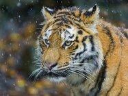 Число амурских тигров в Хабаровском крае выросло в три раза