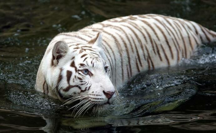 5 разрушенных тиграми мифов про кошек