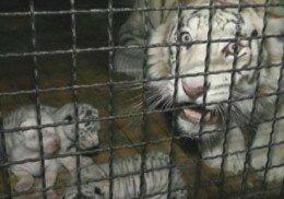 В Ялтинском зоопарке на свет появились четыре белых тигренка