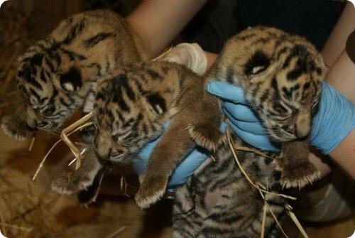 В зоопарке Топики родились суматранские тигрята