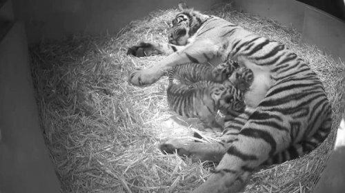 В Лондонском зоопарке родились три суматранских тигренка