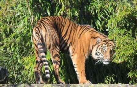 Суматранская тигрица Сеня прибыла в зоопарк Веллингтона