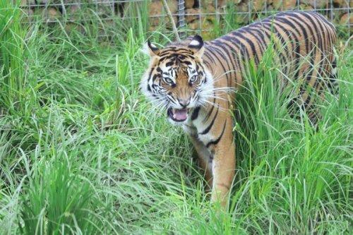 Лондонский зоопарк: суматранские тигрята подрастают