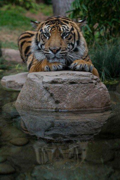Тигры обживают новый дом в Зоологическом сафари-парке Сан-Диего