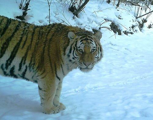 Золото или тигры? (обновлено 20.07.2014)