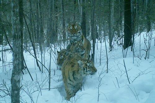 Золото или тигры?