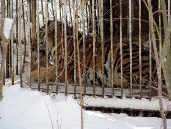 Двух тигров, пойманных в Хабаровском крае, могут отправить в зоопарк