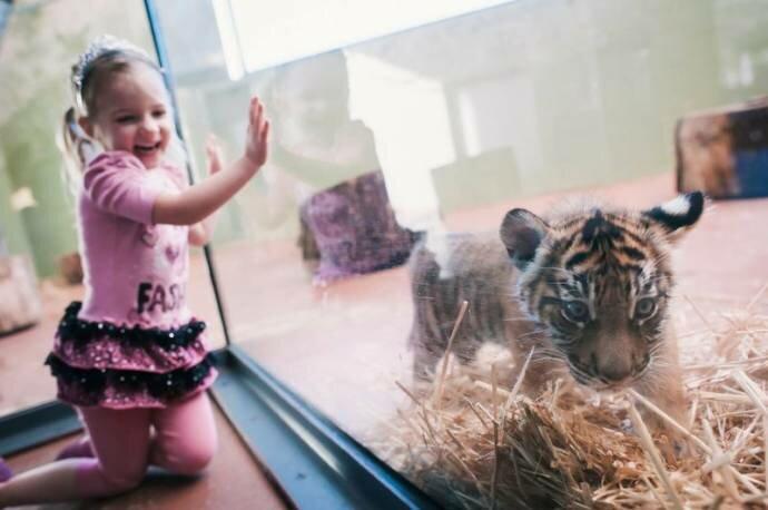 Тигрята-тройняшки из зоопарка Такомы, штат Вашингтон