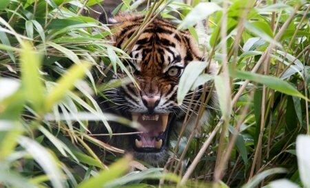В Индии дикий тигр застрял в заборе