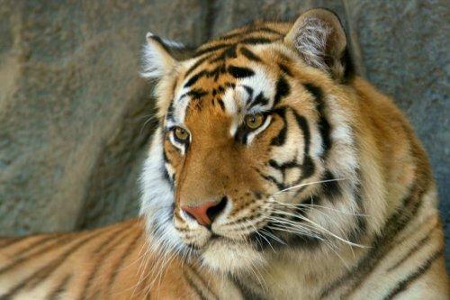 Китайский бизнесмен приговорен к 13 годам тюрьмы за любовь к тигриному мясу