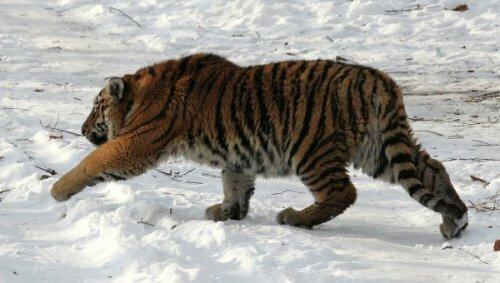 Тигрица Илона разгрызла камеру, установленную для наблюдения за ней